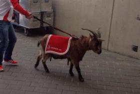 Cologne club mascot Hennes was subjected to some rough treatment by Anthony Ujah while the Nigerian striker celebrated a goal.