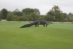 An American alligator estimated to be 3.6 to 4 metres long walks onto the edge of putting green on the seventh hole of Myakka Pines Golf Club in Englewood, Florida.