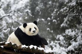 File photo of a panda.