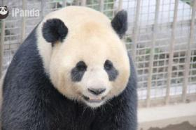Wu Gang (male) couldn't rise to the occasion during China's first live broadcast of an arranged mating session in the Bifengxia Panda Center in Ya'an city, Sichuan province, on April 3.