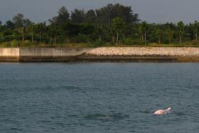 Wild dolphins such as this Indo-Pacific humpbacked dolphins have been spotted in Singapore waters.