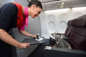 A Qantas stewardess brings water for one of the four koalas that will be coming to the Singapore Zoo.