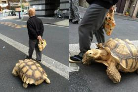An unusual sight of a man walking a tortoise on the streets of Japan