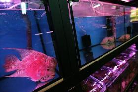 CRIME: (Above) Other luohan fish similar to the one above were stolen at Blue Paradise Aquarium.