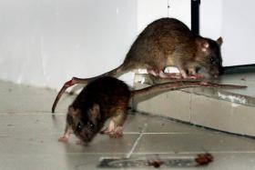 Rats congregating near a vacated shop unit at Block 166 in March 2015. We recount recent sighting of rats in Singapore.