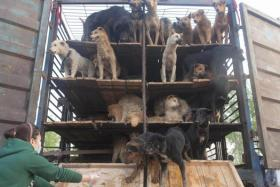 Chinese animal lovers release rescued dogs that were supposed to be sold as meat in 2011.