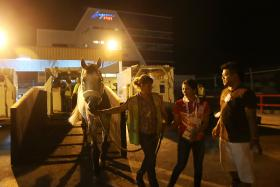 UNLOADED: Team Singapore rider Catherine Chew (in red shirt) and a groom lead her horse, Coquira, down a ramp at the Changi Airfreight Centre.