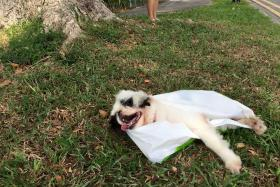 ABANDONED: The dog was left in a plastic bag at the side of the road in Siglap, with its tongue hanging out (above).