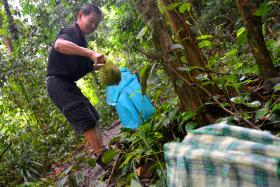 Mr Lee Tian Xing, a carpenter, putting a durian he picked up in a jungle in Mandai Road into his bag.