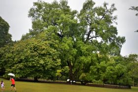 The iconic Tembusu tree at Botanic Gardens. The Singapore Botanic Gardens was nominated as a World heritage site.