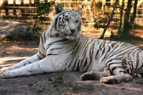 File photo of a white tiger.