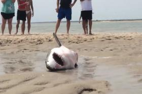 A young great white shark was rescued after it beached itself in Cape Cod.