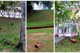 Chickens spotted near Stirling View and Mei Ling Road in Queenstown.