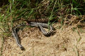 File photo of adders.