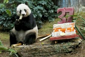 Giant panda Jia Jia eats beside a birthday cake made from ice and vegetables as she celebrates her 37th birthday at the Hong Kong Ocean Park.