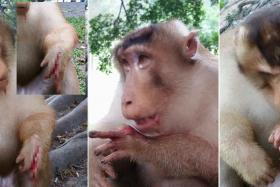 A macaque whose hand was allegedly injured by a firecracker has sparked anger among Malaysian netizens.