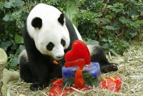 Female panda Jia Jia enjoys her birthday cake in her enclosure at the River Safari.