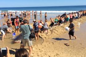Beachgoers banded together to attempt a rescue on a great white shark which had beached itself on Cape Cod.