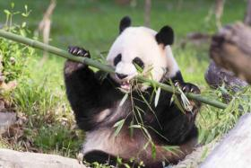 Giant pandas are one of the world's most endangered species.