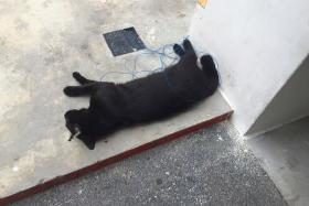 A black cat, allegedly strangled by a rope, was found near a rubbish chute at Yishun Ave 9. This is just one of many cat deaths happening in the area.