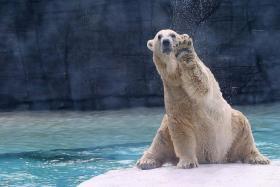 GOLDEN YEARS: At 25, Inuka is considered a senior polar bear.