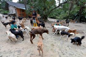 A HAND IN NEED: (Above) Singaporean volunteers Cheryl Lim, 27, and Ivan Lim, 25, (in green shirts) play with the dogs at Noah's Ark Natural Animal Sanctuary (Nanas) in Johor, which houses about 1,200 animals.