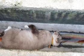 GRIM: Meezus, a Ragdoll-Burmese crossbreed, was found dead in a drain yesterday morning.