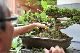 FANATICAL: Teo Tiong Guan loved bonsai so much that he stole nine within a month.