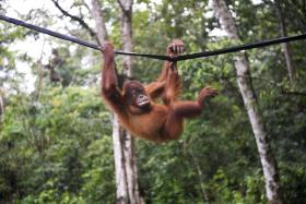 ENDANGERED: The orang utan population has been declining over the years.