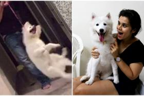 The white Japanese spitz was removed from its home after a video (left) emerged of a man swinging and spinning the dog. The spitz, named Liska, is now with new owner Ms Gourie Pandey (right).