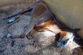 IN PAIN: When a former Agri-Food and Veterinary Authority officer saw Sharpy, it had several wounds and was too weak to stand.