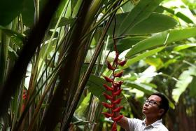 'PLANT DOCTOR': Horticulturist Dr Wilson Wong with one of his favourite outdoor tropical plants, the Heliconia Longissima.