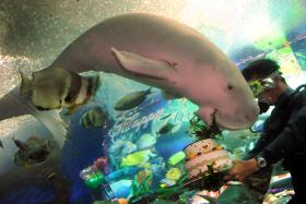 CELEBRATION: A trainer holding a birthday cake topped with sea grass for Gracie the dugong at the Underwater World Singapore in 2009.