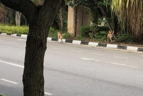 SPOTTED: Stray dogs at Punggol.