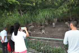 HERD: People looking at the wild boars in Pasir Ris.