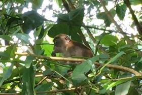 """NOT SAFE: Kent Ridge Park is """"not safe"""" for macaque Chippy (above), claims UK monkey sanctuary director Jan Garen, adding that the monkey has """"nowhere to go""""."""