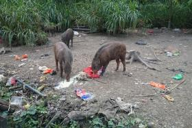 DUMPING GROUND: Litter covers the Lorong Halus area where people have been watching and feeding wild boars.