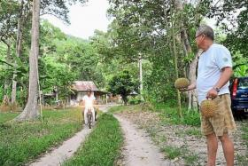 ON THE LOOKOUT: Durian orchard owners in Penang are now wary whenever they spot strangers lurking around their land.