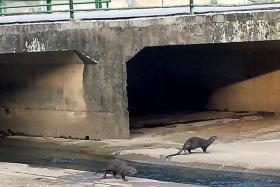 SPOTTED: Otters at the Bishan canal next to Bishan MRT depot.