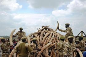 CONFISCATED: Kenyan rangers piling up confiscated elephant ivory for burning.