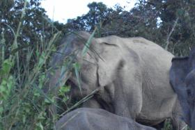 Pygmy elephants targeted by poachers for their ivory