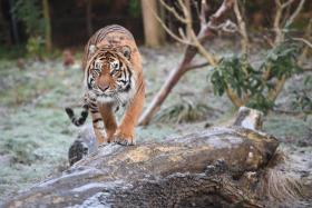 A Sumatran tiger (like the one pictured here) killed an Indonesian man.
