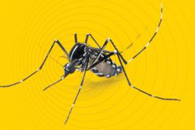 Dengue warning as Aedes mosquito numbers grow