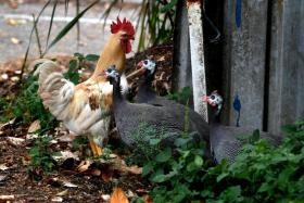 Chicken culling issue raises need for more awareness