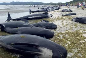 Whales dead in New Zealand beaching