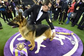 German Shepherd wins best in show