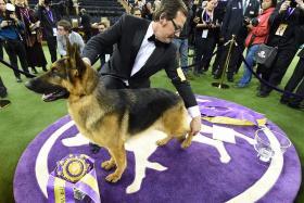 German Shepherd wins best in show