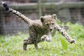 Keepers play mum to cheetah cub