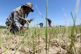 A farmer  inspects his dried rice field in Praek Siracha, Chainat province, Thailand in 2015