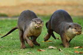 otters in Singapore